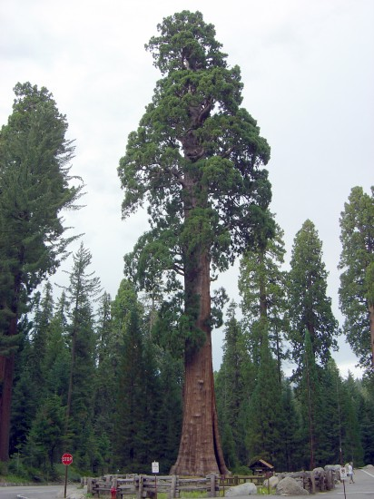 Redwood-Tree im Sequioa National Park