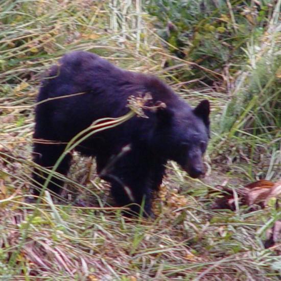 Ein wilder Schwarzbär