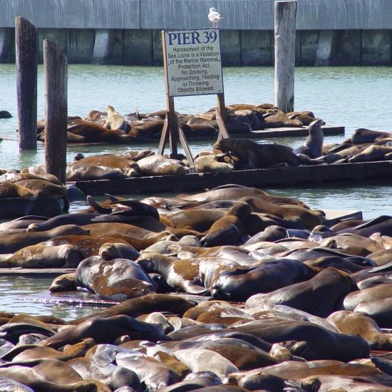 Die Seelöwen am Pier 39