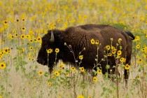 Bison at Antelope Island State Park